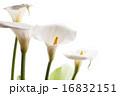 咲く オランダカイウ カラーリリーの写真 16832151