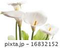 咲く オランダカイウ カラーリリーの写真 16832152