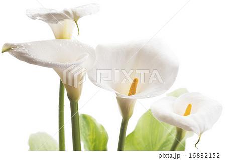 白背景のオランダカイウの花のアップ 16832152