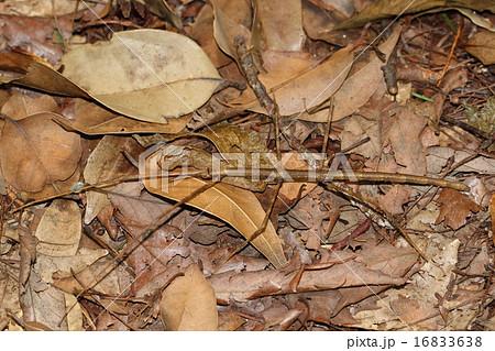 地面に落ちた枯れ枝に擬態するナナフシ 16833638