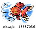 金魚15731pix1 16837036