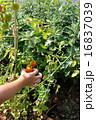 家庭菜園のミニトマトを採る子どもの手 16837039