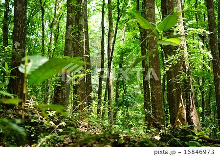 フィリピン 森林 ブナの木 自然 16846973