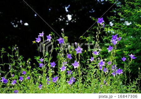 7月花 キキョウキキョウ科58秋の七草の写真素材 16847306 Pixta