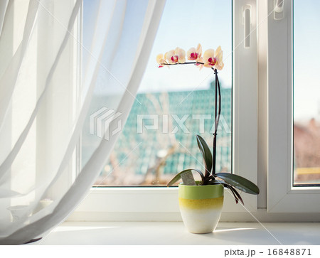Orchids in pot on sunny window sillの写真素材 [16848871] - PIXTA