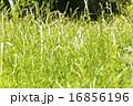 テクスチャー 草 グリーンの写真 16856196
