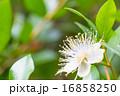 フトモモ科 銀梅花 銀盃花の写真 16858250