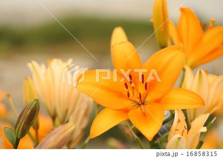 橙色のゆり 16858315