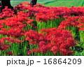 曼珠沙華 リコリス 群生の写真 16864209