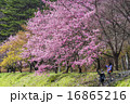 台灣台中的武陵農場櫻花季 16865216