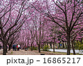 台灣台中的武陵農場櫻花季 16865217
