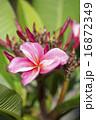 開花 プルメリア 花の写真 16872349