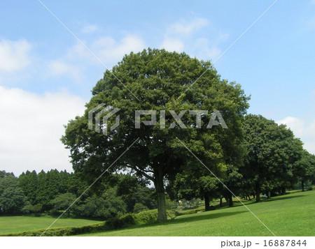 昭和の森のシラカシの大木 16887844