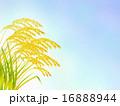 稲穂と秋空 16888944