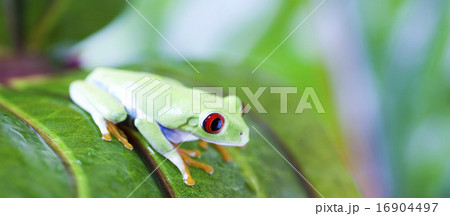 Red eye tree frog on leaf on colorful background
