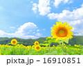 ひまわりと青空 16910851