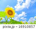 ひまわりと青空 16910857
