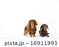 ミニチュアダックス 犬 ミニチュアダックスフンドの写真 16911993