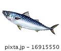 鯖 真鯖 秋鯖のイラスト 16915550