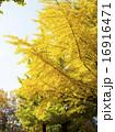 イチョウ 大木 黄葉の写真 16916471