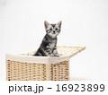 カゴに入ったアメリカンショートヘアーの子猫 16923899