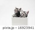 アメリカンショートヘアー 鉢 猫の写真 16923941