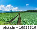 夏の田園風景【群馬県・嬬恋村のキャベツ畑】 16925616