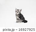 1匹 アメリカンショートヘアー 子猫の写真 16927925