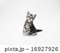 カメラを見るアメリカンショートヘアーの子猫 16927926