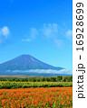 ひまわり キバナコスモス 富士山の写真 16928699