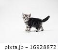しっぽをあげたアメリカンショートヘアーの子猫 16928872
