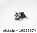 構えるアメリカンショートヘアーの子猫 16928874