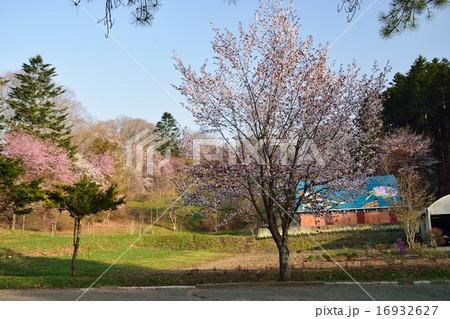 義経公園の桜 16932627