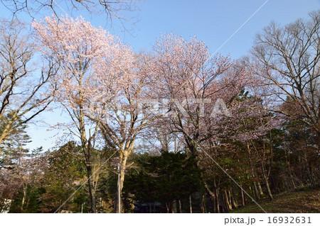 義経公園の桜 16932631