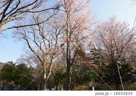 義経公園の桜 16932634