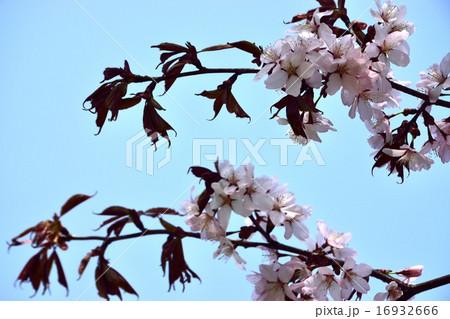 桜 16932666