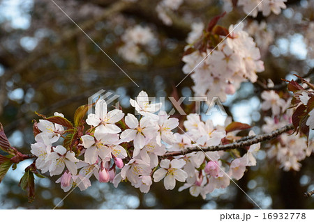 静内二十間道路の桜並木 16932778