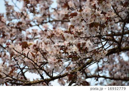 静内二十間道路の桜並木 16932779