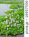 7月花 水草ホテイアオイの群生地04加須市 16937500