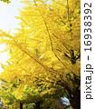 イチョウ 大木 黄葉の写真 16938392