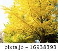 イチョウ 大木 黄葉の写真 16938393