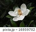 モクレン科 タイサンボク 花の写真 16939702