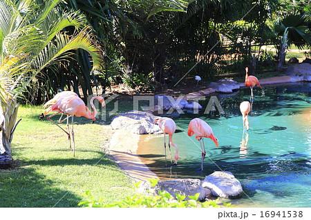 ホノルル動物園のフラミンゴ 16941538