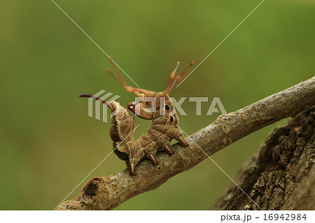 生き物 昆虫 シャチホコガ、これがシャチホコのポーズ。芋虫というには足が長すぎます 16942984