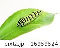 芋虫 キアゲハ 蝶の写真 16959524