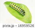 芋虫 キアゲハ 蝶の写真 16959526