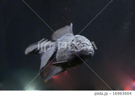金魚 黒 16963604