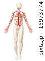 人体 血管 心臓のイラスト 16973774
