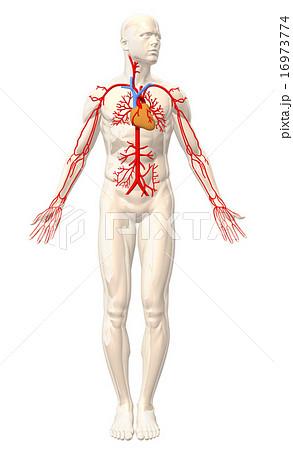 心臓血管ボディ 16973774