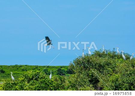 木の上で巣作り?アオサギ (北見市) 16975858